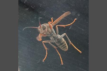 アシナガバチとは