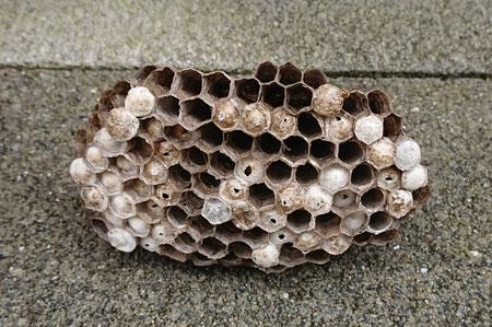 アシナガバチ撃退後の巣の状態